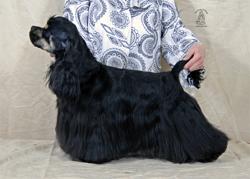 cocker américain noir et feu, Etincelle des Perles d'Onyx