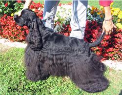 cocker américain noir, Belphégor des Perles d'Onyx