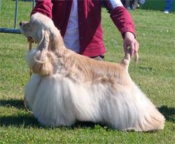 cocker américain blond, CH-Elric des Perles d'Onyx