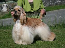 cocker américain blond, Firefox des Perles d'Onyx
