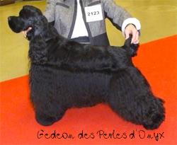 cocker américain noir,Gedeon des Perles d'Onyx
